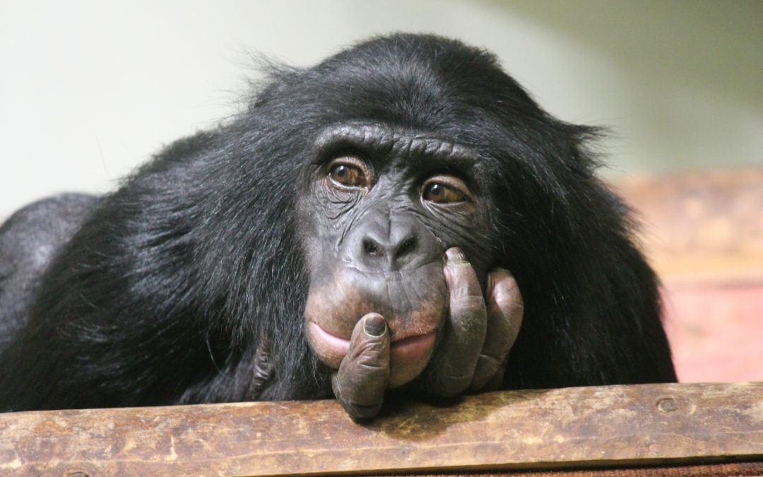 Chimp Model